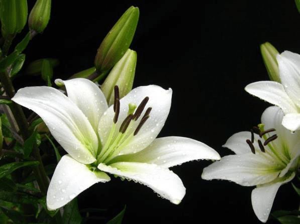 why cat owners should avoid lilies